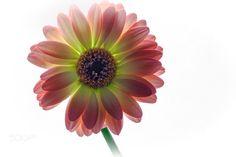 Backlight - Back lit daisy