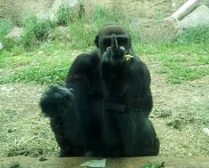 Gorillas are showing signs of early speech so brace yourself 'cos Planet of the Apes might be real