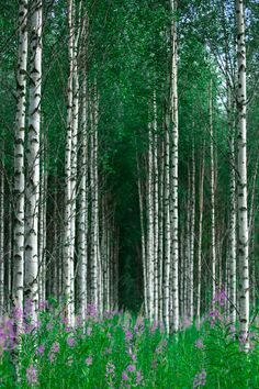 Birch Forest Karelia, Finland / Photograph Untitled - Ari Vitikainen on Birch Forest, Tree Forest, Birch Trees, Aspen Trees, Places To Travel, Places To See, Beautiful World, Beautiful Places, Beautiful Forest