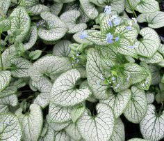 #Shade Gardening Brunnera Silver Heart is shade-loving perennial with forget-me-not-type flowers, which dance above the emerging leaves in spring.