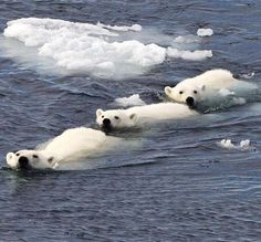 From Africa to the Arctic: the wildlife photography of tour guide Paul Goldstein - A polar bear family swim in formation after the cubs caught the eye of a hungry male bear, Spitsber - Animals And Pets, Baby Animals, Cute Animals, Baby Pandas, Polar Animals, Wild Animals, Sea Ice, Bear Photos, Bears