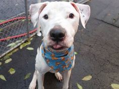 TO BE DESTROYED THURS. 11/13/14 - Manhattan Center   ROCKY - A1019344   NEUTERED MALE, WHITE / BR BRINDLE, PIT BULL MIX, 3 yrs STRAY - STRAY WAIT, NO HOLD Reason STRAY  Intake condition EXAM REQ Intake Date 11/01/2014, From NY 10027, DueOut Date 11/03/2014,