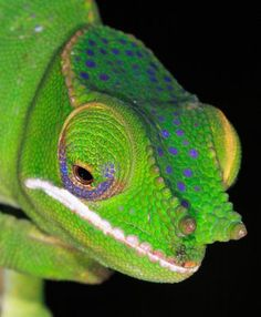 Speckled with what looks like glam rock makeup, the chameleon Furcifer timoni was recently discovered on the species-rich African island nation of Madagascar.