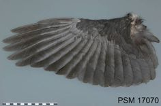 American Crow, 17070b, male, Aug :: Wing & Tail Image Collection
