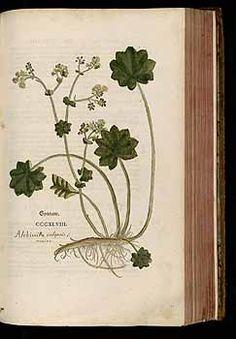 184764 Alchemilla vulgaris L. / Fuchs, L., New Kreüterbuch, t. 348 (1543)