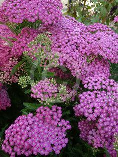 Choosing A Garden Fence Pink Perennials, Dry Sand, Achillea Millefolium, Plant Information, White Fence, Fence Landscaping, Types Of Plants, Landscape Design, Lilac