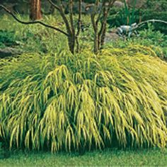 Rose fountain grass perrenial and likes full sun to for Hearty ornamental grasses