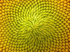 I love the symetry and perfection of the center of this sunflower.