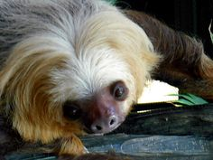 Chloe, the two-toed sloth of como zoo