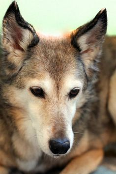 S.A.I.N.T.S Senior Holly.  Saints is an incredible group who takes unwanted senior animals and lets them live out the remainder of their lives loved, wanted and with dignity.  Please consider donating to their 1000 SAINTS program, I love old dogs :)