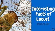 Interesting Facts Of Locust |Locust Swarm Good Sources Of Protein, Interesting Facts, Fun Facts, Deserts, Eat, Food, Good Protein Sources, Essen, Postres