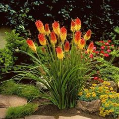 Red Hot Poker Flower Seeds Kniphofia by UnderTheSunSeeds on Etsy