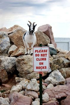 "Everyone's like ""oh rebel goat, haha"" I'm thinking outside the box going, ""that goat is a genius, making a sign so people will stay off his rocks!"""