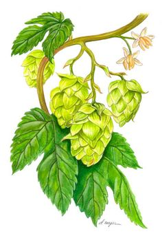 hops illustration - Google Search