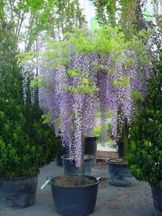 60 pcs japanese wisteria seed perennial flowers bonsai tree seeds Indoor ornamental plants true seed for garden decoration - Modern Wisteria Plant, Wisteria Pergola, Wisteria How To Grow, Tuscan Garden, Garden Cottage, Garden Trees, Garden Pots, Flowers Perennials, Planting Flowers
