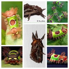 The saddleback caterpillar, Acharia stimulea, is the larva of a species of moth native to eastern North America. The species belongs to the family of slug caterpillars, Limacodidae. Wikipedia Scientific name: Acharia stimulea Higher classification: Sibine Rank: Species