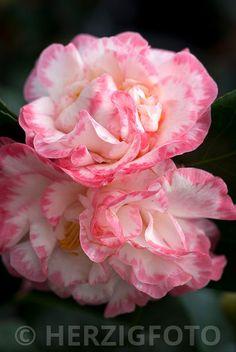 "Bildarchiv Camellia japonica ""Margaret Davis"" - Kamelie by Herzig - Fotografie"