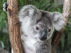 An expert panel will be established 'as a matter of urgency' after a new report found that masses of some of Australia's largest koala populations are 'effectively extinct' (stock image)