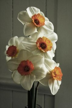 Cream and Peach Daffodils... Happiness