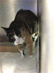 2/23/18 - S.URGENT ! - MINNIE was brought to the shelter after a scratch incident in the home.  She allowed all handling well and like to be petted.  Minnie has a heart murmur and may need some dental care.  She is hoping to find a new furever home this time.