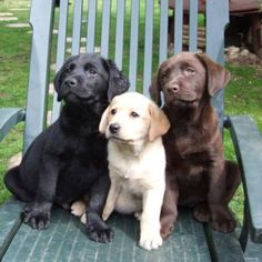 This looks like my kids--one blonde, one red-haired, one black-haired. :-): Chocolate Labrador Puppies, Chocolate Labs, Puppies Labs, Labrador Pups, Labradors Ils, Beautiful Labradors, Animal, Labrador Dogs