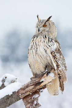 magicalnaturetour: (via Siberian Eagle Owl by Milan Zygmunt / 500px)