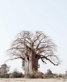 Baobab by Caroline Gibello. She is a fabulous South African photographer, renowned for her washed out shots of the wild.