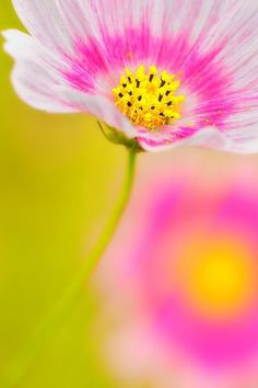 There are shades of pink in the flowers and colors of yellow in the center and the background. Those colors are complementary colors.