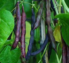 Bean, Cherokee Trail of Tears (Phaseolus vulgaris), packet of 7 seeds, organic - Horizon Herbs Organic Art, Organic Seeds, Plum Organics, Trail Of Tears, Organic Farming, Asparagus, Beans, Cherokee, Camilla