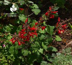 salvia roemeriana native perennial #centraltexasgardener