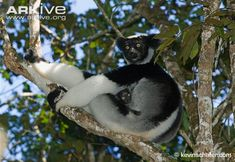 Indri in tree with infant -endangered