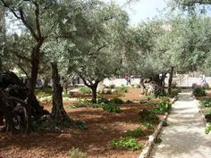 Israel. The Garden of Gethsemane at the foot of Mt. Olives...where Jesus sweat blood, and overcame His will...