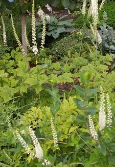black cohosh: Women should be very careful when using Black Cohosh as it is an extremely potent flower. Black Cohosh can be used as an emmenagogue, which means that it stimulates the uterus. Women with menstrual problems can effectively use low doses of this flower to help regulate their cycles and relieve pain. In the same vein, pregnant women should avoid it since it can bring on a miscarriage or early labor.