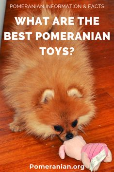 Best Toys for Pomeranian puppy teething. Best toys for Pomeranian puppies. Best toys for pomeranians. Best Toys For Puppies, Toy Puppies, Small Puppies, Puppies For Sale, Small Dogs, Mini Pomeranian, Pomeranian Facts, Puppy Teething, Teething Toys