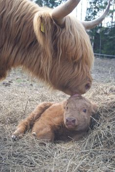 cumaeansibyl:  wild-soulchiild:  hughhighlander:  Who needs a hairbrush when you've got momma.  ugh i love   WEE TINY MOO
