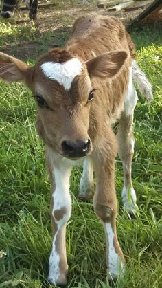 Miniature Breeds Of Cattle That Are Perfect For Small Farms Cute Creatures, Beautiful Creatures, Animals Beautiful, Cute Sheep, Cute Cows, Animals And Pets, Cute Animals, Heart In Nature, In Natura