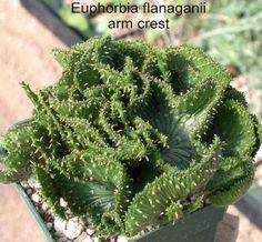 EUPHORBIA FLANAGANI ARM CREST (medusa head) http://worldofsucculents.com/euphorbia-flanaganii-medusas-head/