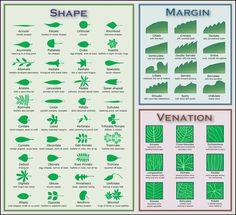 Leaf Identification Key