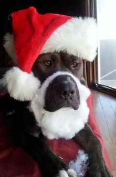 Photo of Santa Rufus by Jeanine Miller.  ahhh - how'd they get the dog to let them do this to him?  Lots of cookies?