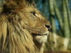 Löwe im Eberswalder Zoo #Ausflug #NaturErleben