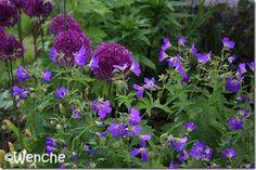 Wenches hage: G. sylvaticum 'Amy Doncaster' and Allium 'Purple Sensation'