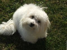 coton-de-tulear - a super sweet loving dog related to Bichons, Maltese, etc.    Not just a white fluff dog!