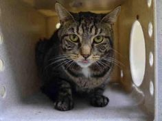 MONSOON aka LUCKY - A1087800 - - Staten Island  *** TO BE DESTROYED 09/09/16 *** MONSOON LOSES OWNER…. The ACC's notes are a little convoluted but the gist is that MONSOON is no longer in his home and he is a shy guy to begin with so this trip to the ACC has been upsetting for him to say the least…..MONSOON is three years old, a healthy 12 lbs and already NEUTERED….sadly, the ACC saw fit to slap this grieving cat with a NEW HOPE rating….BUT ALL