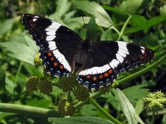 White Admiral Butterfly on Lovage