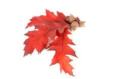 Leaves and three acorns. Royalty Free Stock Images