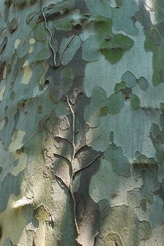 colors of the sycamore tree
