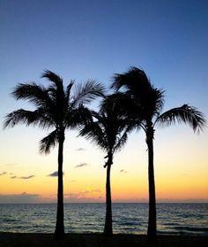Three dune palms in the pre-dawn glow.