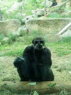 Angry Gorilla!!!!