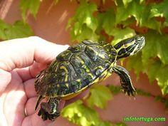 Especies de tortugas más comunes
