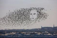 Hidden Face by Ossowski: Not just another face in the flock! Bird art by Ossowski